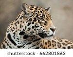 jaguar  panthera onca .... | Shutterstock . vector #662801863