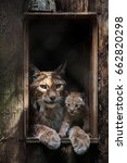 eurasian lynx  lynx lynx . an...   Shutterstock . vector #662820298