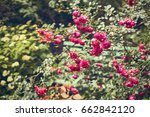 Stock photo hidden bench in the roses garden 662842120