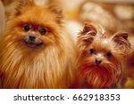 Orange Color Dogs