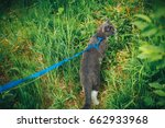 Gray Pet Cat With Leash...
