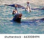 Caifornia Sea Lion Swimming...