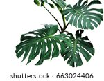 Stock photo dark green leaves of monstera or split leaf philodendron monstera deliciosa the tropical foliage 663024406