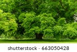 giant shade tree  with shade... | Shutterstock . vector #663050428