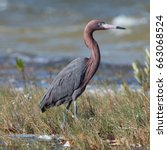Reddish Egret Walking In Marsh...