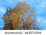 sunny poplar trees tops on blue ... | Shutterstock . vector #663071344