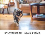 Stock photo confident and beautiful tortoiseshell cat indoors walks toward the camera as if on a hunt the 663114526