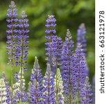 lupinus polyphyllus | Shutterstock . vector #663121978