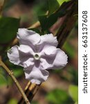 Close Up Of Brunfelsia Flower ...