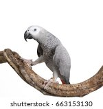 Small photo of African Gray Parrot isolated on white background.