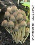 Coprinus Micaceus Mushroom Nea...