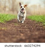 running dog at summer. jumping... | Shutterstock . vector #663274294