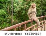 naughty monkey isolated sitting ...   Shutterstock . vector #663304834