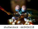 Odontodactylus Scyllarus  Know...