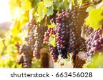 Vineyards At Sunset In Autumn...