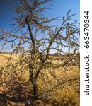 Small photo of Acacia tree