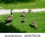 a family of canada geese in the ... | Shutterstock . vector #663478126