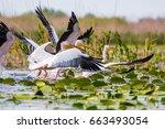pelicans | Shutterstock . vector #663493054
