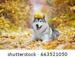 Funny Siberian Husky Lying In...