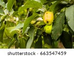 fruit apples on a tree | Shutterstock . vector #663547459