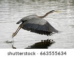 pacific great blue heron over... | Shutterstock . vector #663555634