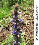 Small photo of blue bugle or bugleweed, Ajuga reptans