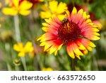 helenium flower in summer garden | Shutterstock . vector #663572650