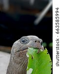 Small photo of Giant Aldabra Tortoise feeding on a leaf in Alphonse, Seychelles outer islands