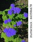 Small photo of Ageratum houstonianum 'Blue Mink'