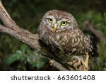 little owl or athene noctua... | Shutterstock . vector #663601408