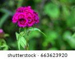purple cloves turkish in the...   Shutterstock . vector #663623920