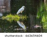 A Snowy Egret On A Grass Clump...