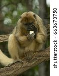 Small photo of Black-howler monkey (Alouatta caraya).