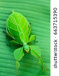 Small photo of Green leaf insect