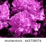 purple  violet  colored roses | Shutterstock . vector #663738076