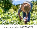 field with strawberry harvest ... | Shutterstock . vector #663786829