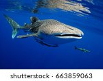 Whale Shark Is A Big Fish In...