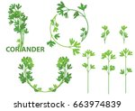 coriander herb  chinese parsley ... | Shutterstock .eps vector #663974839