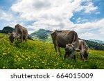 Swiss Cows. Swiss Alps. Ebenalp.