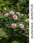 Small photo of Moutan Tree Peony (Paeonia suffruticosa) in park, Moscow, Russia