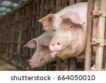 pig in the countryside farm | Shutterstock . vector #664050010