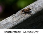 brown paper wasp.  this... | Shutterstock . vector #664051099