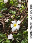 Small photo of Plumeria flowers and bushes make good sense when seeing flowers,Spa