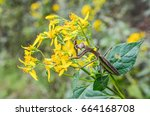 Small photo of Macro closeup of orange yellow wingstem flowers with black tips and brown praying mantis