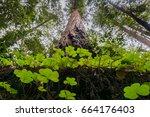 Redwood Sorrel Growing At The...