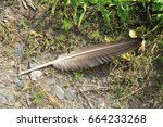 Lost Big Feather Of A Wild Goose