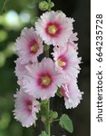 Small photo of Pink Alcea rosea
