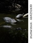 Small photo of Alligators (Alligator mississippiensis) and Turtle (Pseudemys concinna floridana) Resting, Swimming, Big Cypress National Preserve, Florida, USA