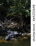 Small photo of Alligator (Alligator mississippiensis) Resting, Big Cypress National Preserve, Florida, USA