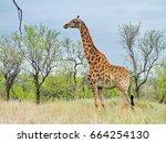 south africa   november 7  2011 ... | Shutterstock . vector #664254130
